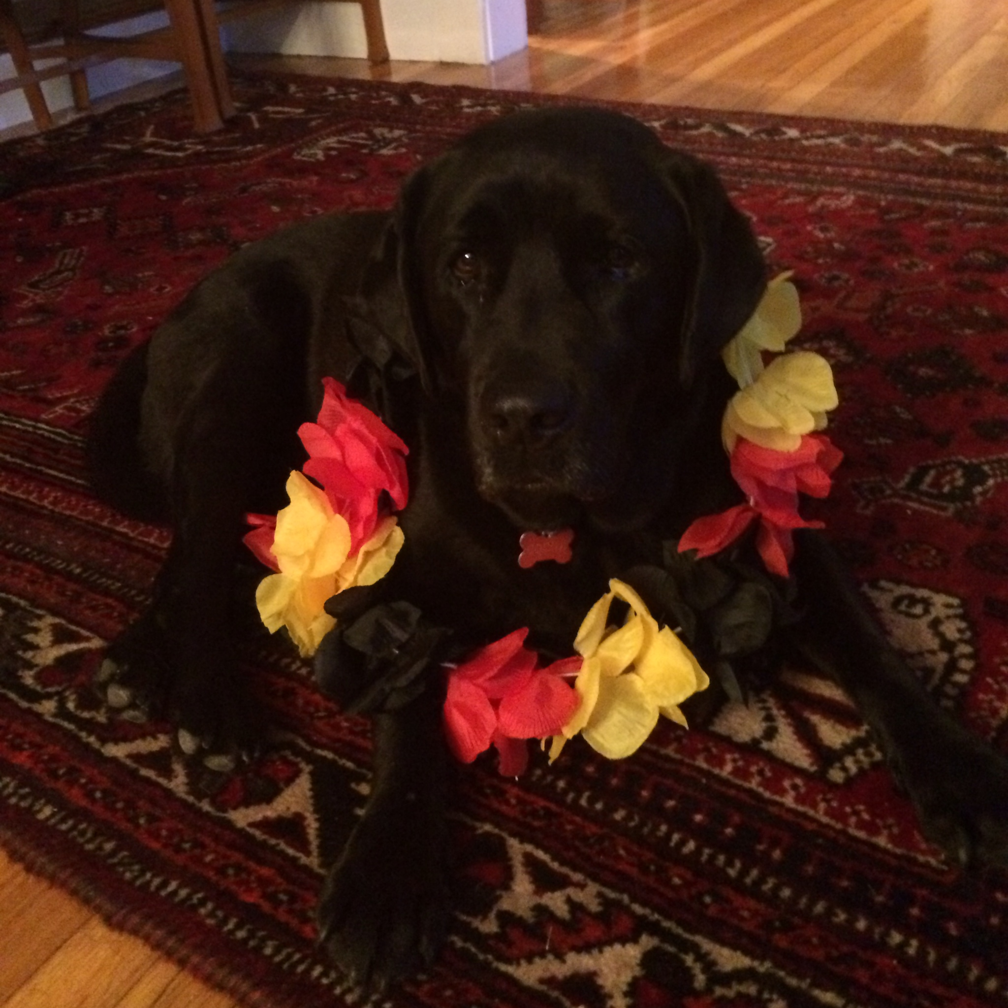 dog wearing Germany lei